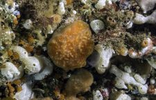 Various species of tunicates photographed in the deep cold waters of southern British Columbia.